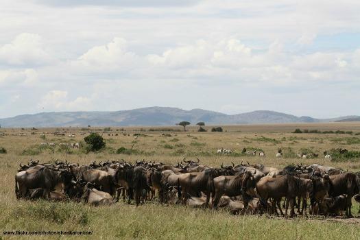 Great Wildebeest migration. Photo by shankar s.