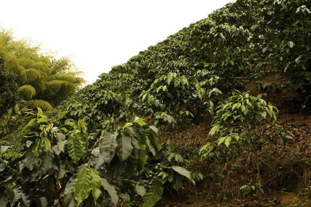 Coffee fields. Colombia